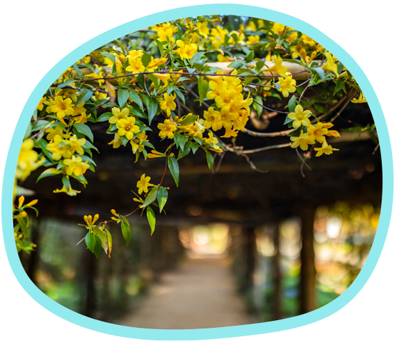 Yellow flowers hang from a wooden arbor in Coker Arboretum on Carolina's campus
